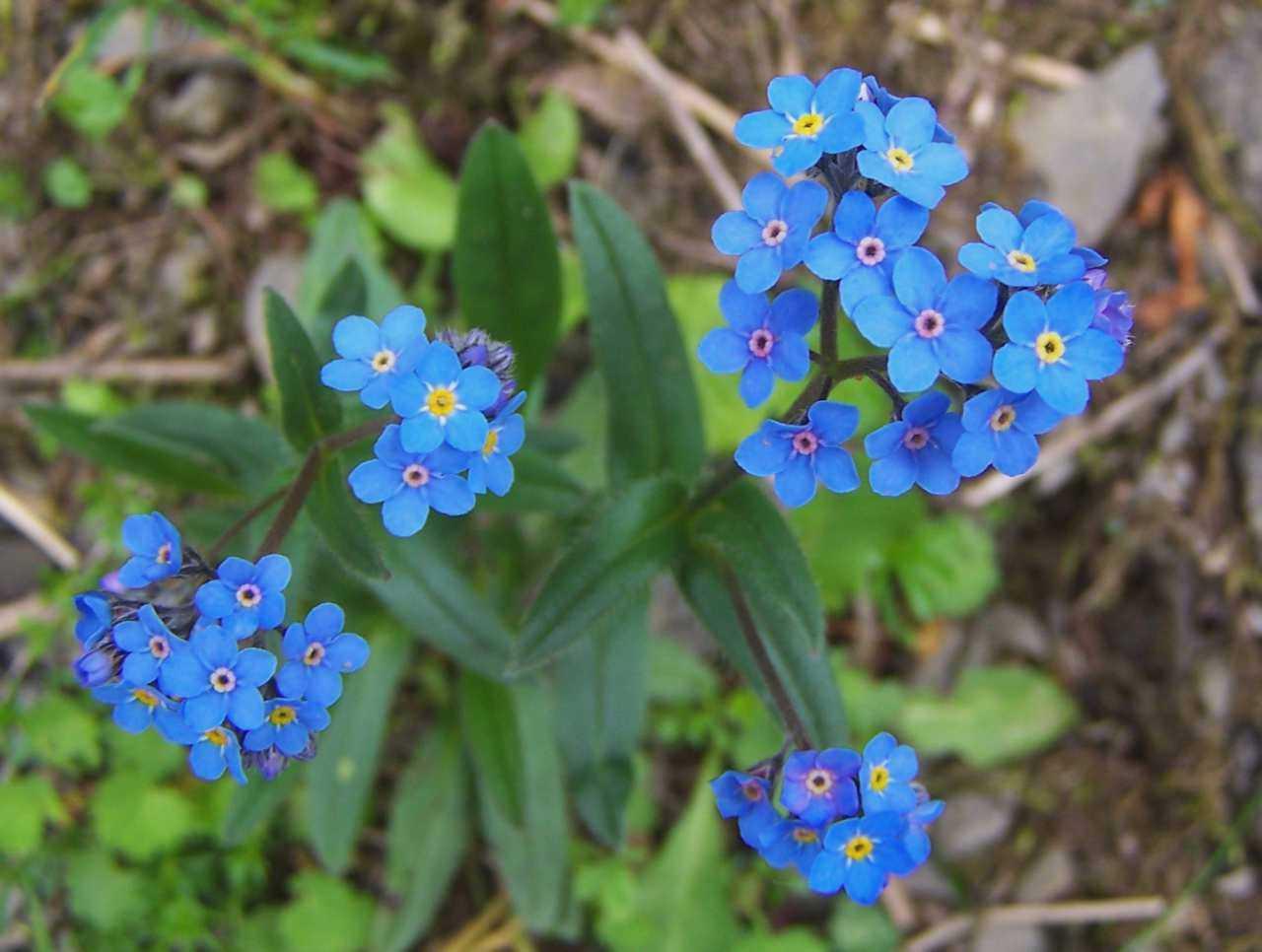 Hình ảnh những cánh hoa lưu ly bé nhỏ xinh xinh