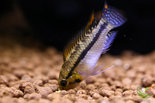F1 of Apistogramma Luelingi from Rio Apere in Bolivia