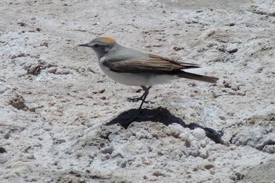 argentinian tyrant birds