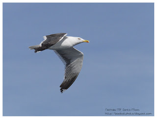 https://bioclicetphotos.blogspot.fr/search/label/Go%C3%A9land%20marin%20-%20Larus%20marinus
