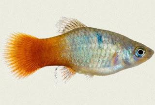 Gambar Ikan Platy Malibu Sunset
