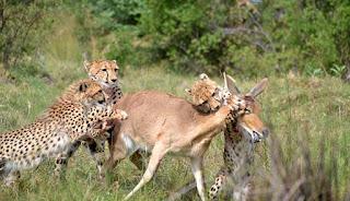 Ini Dia Cara Cheetah Ajarkan Anaknya Berburu