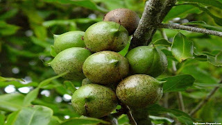 macadamia fruit images wallpaper