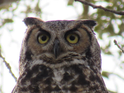 where to see northern california owls birding birdwatching