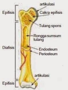 struktur tulang panjang