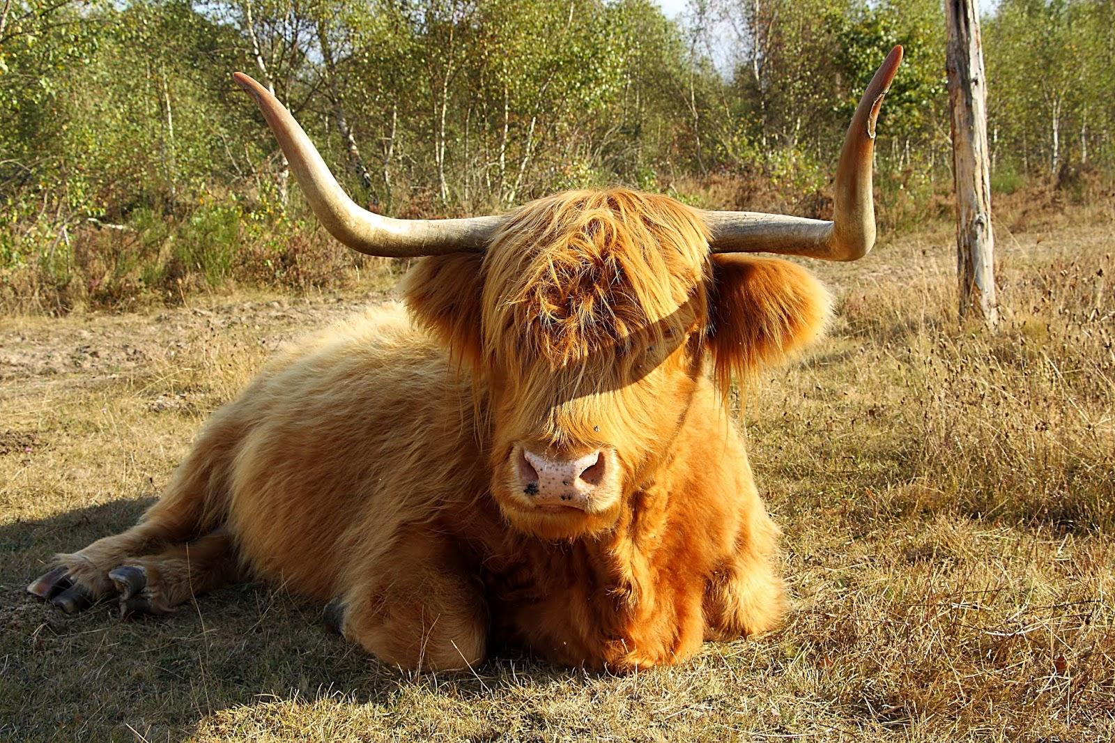 highland coos, coo, coos, highland cows