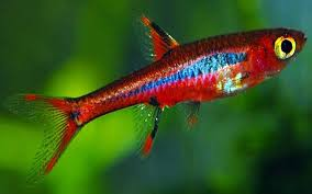 Joe 39 s aquaworld for exotic fishes mumbai india 9833898901 for Mosquito fish for sale
