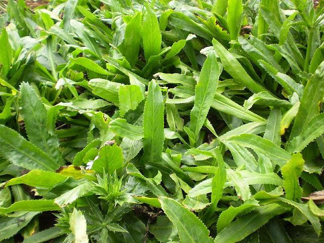 Rau Mùi Tàu - Eryngium foetidum - Nguyên liệu làm thuốc Chữa Cảm Sốt
