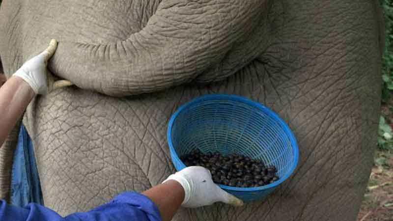 10 Fakta Unik Kopi Gajah! Kopi Termahal di Dunia Saat ini!
