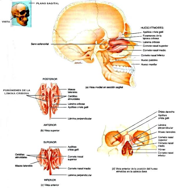 Cráneo anatomía plano sagital