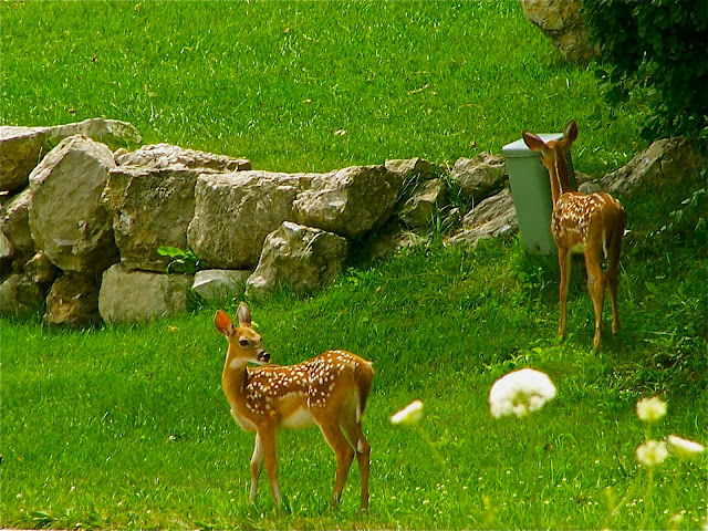 Eye on a Sparrow: God's Creatures Great and Small (Fawns)