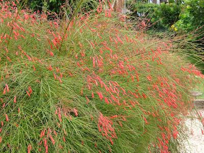 bunga air mancur russelia