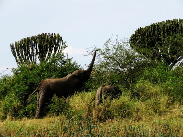 Grazing elephants along the Kazinga Channel in QENP in Uganda