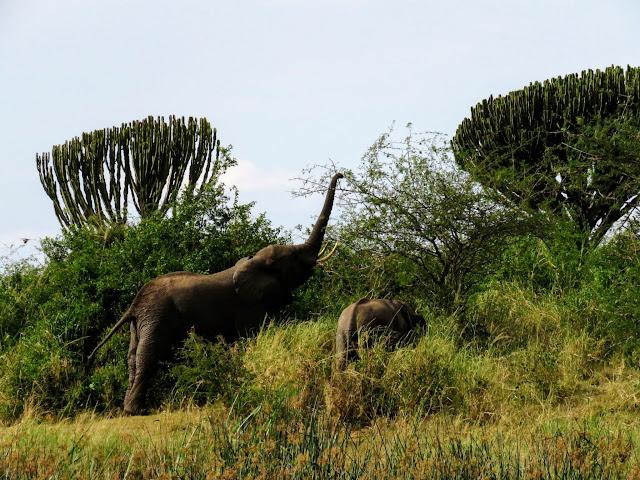 Grazing elephants along the Kazinga Channel in QENP in Uganda