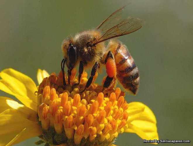 9 Fakta Menarik Tentang Lebah Madu