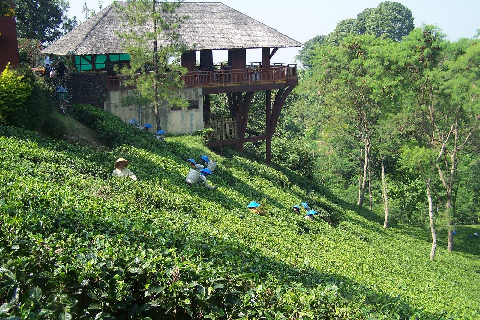Agrowisata di Kebun Teh Wonosari Malang