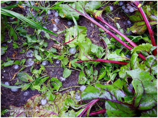 Las remolachas no se dañan con el granizo pero sus hojas sí - Chacra Educativa Santa Lucía