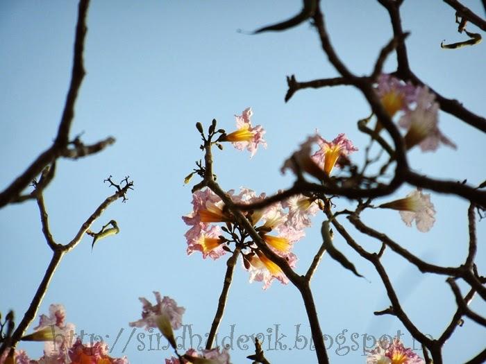 Spring Flowers in Aditi Garden, Magarpatta Inner Circle, Pune.