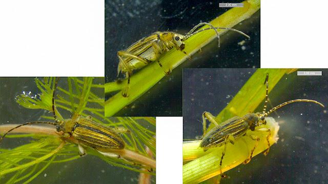 Kolme kuvaa, kaikissa melko samannäköiset kuoriaiset vesikasvilla.