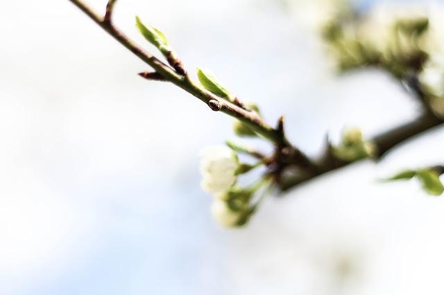 Macro Cerisier en fleur