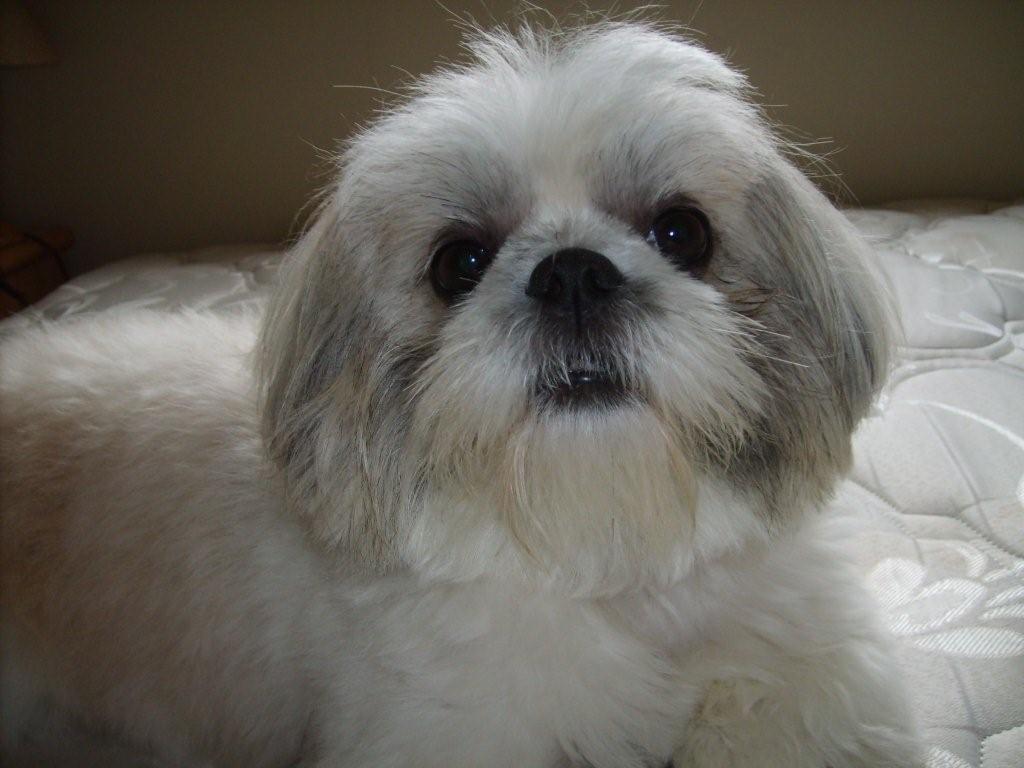 Comportamiento Animal Razas Caninas Shih Tzu O Chapi