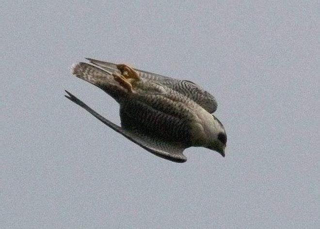 Raptor Resource Project Blog Peregrine Falcon Faq