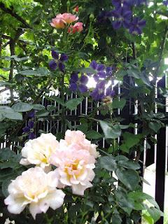 клематисы +и розы +в саду фото