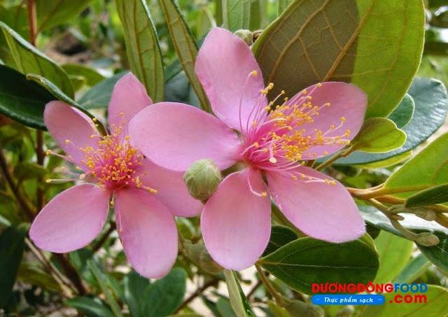 cây hoa sim rừng phú quốc ra trái làm nên rượu sim