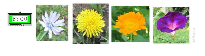 когда расцветают цикорий, одуванчик, календула и вьюнок