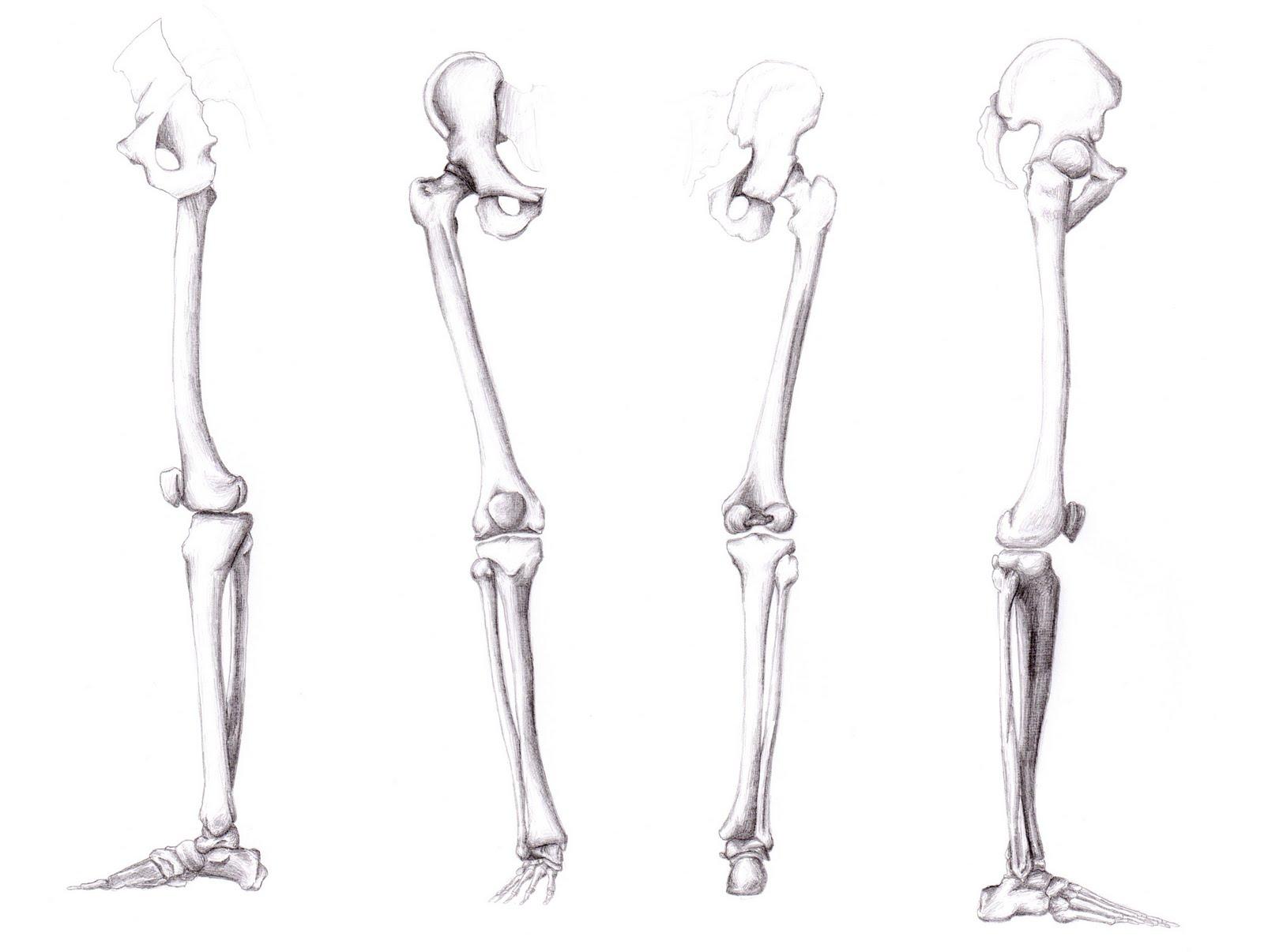 Teliga Osteologia Do Torax E Dos Membros