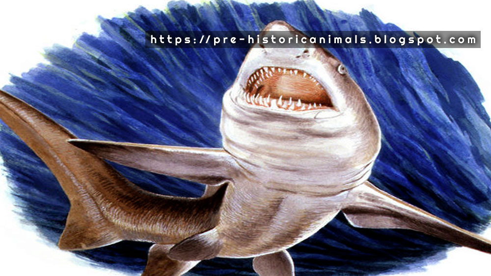 Megalodon Dent Requin Fossile Angustiden Auriculatus otudus