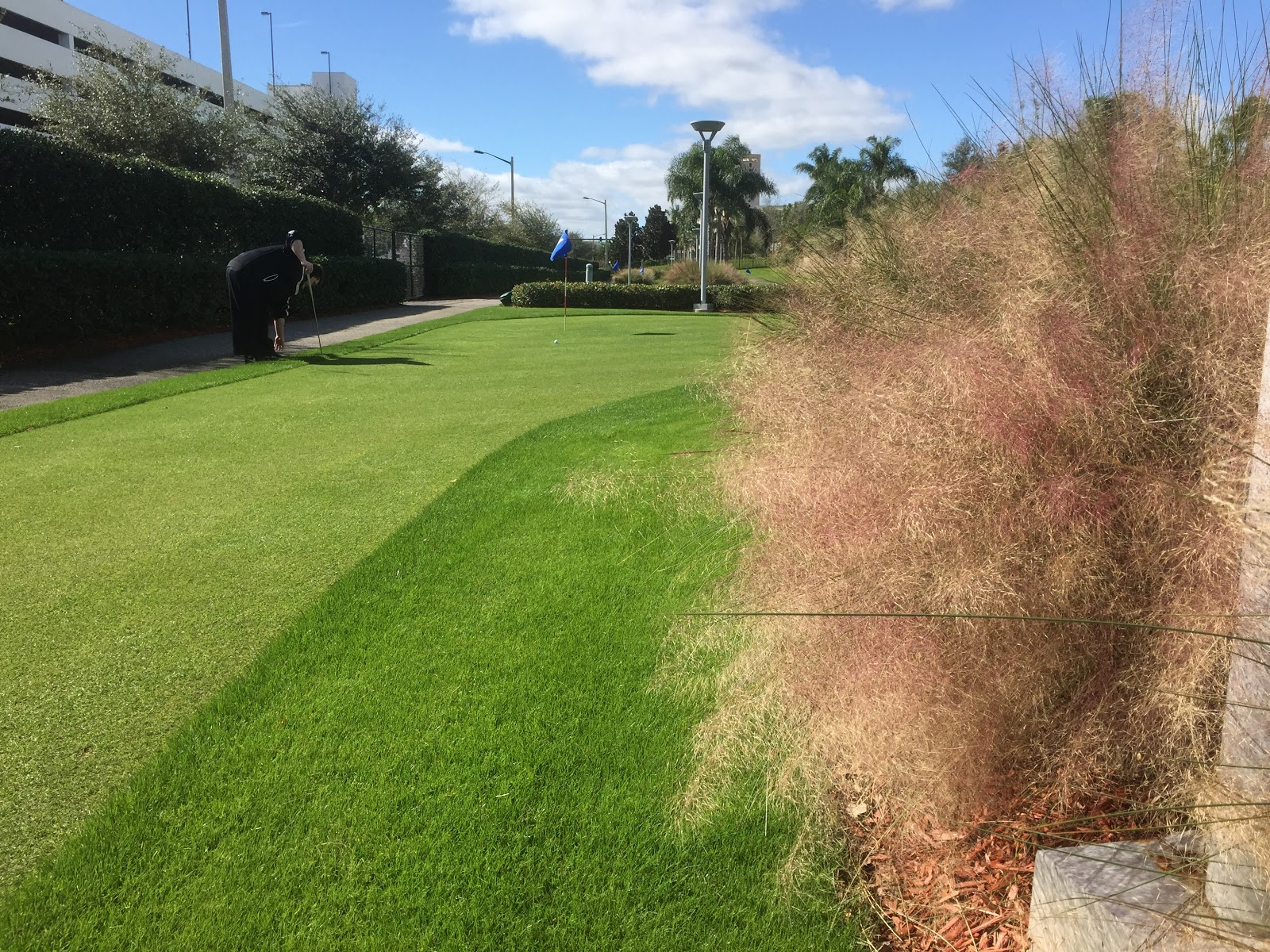 Muhlenbergia capillaris golf course