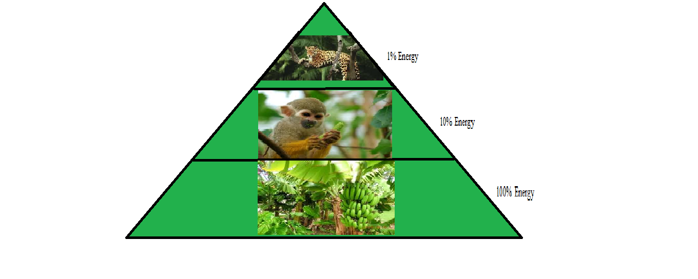 tropical rainforest food web diagram kenwood kdc x595 wiring rain forest travel blog and energy pyramid an is a in the shape of that shows loss 90 original as you move up chain