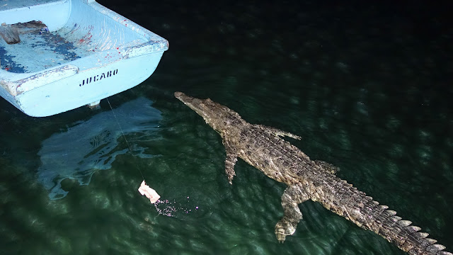 Cuban Crocodiles like chicken, nothing stops them to get it.