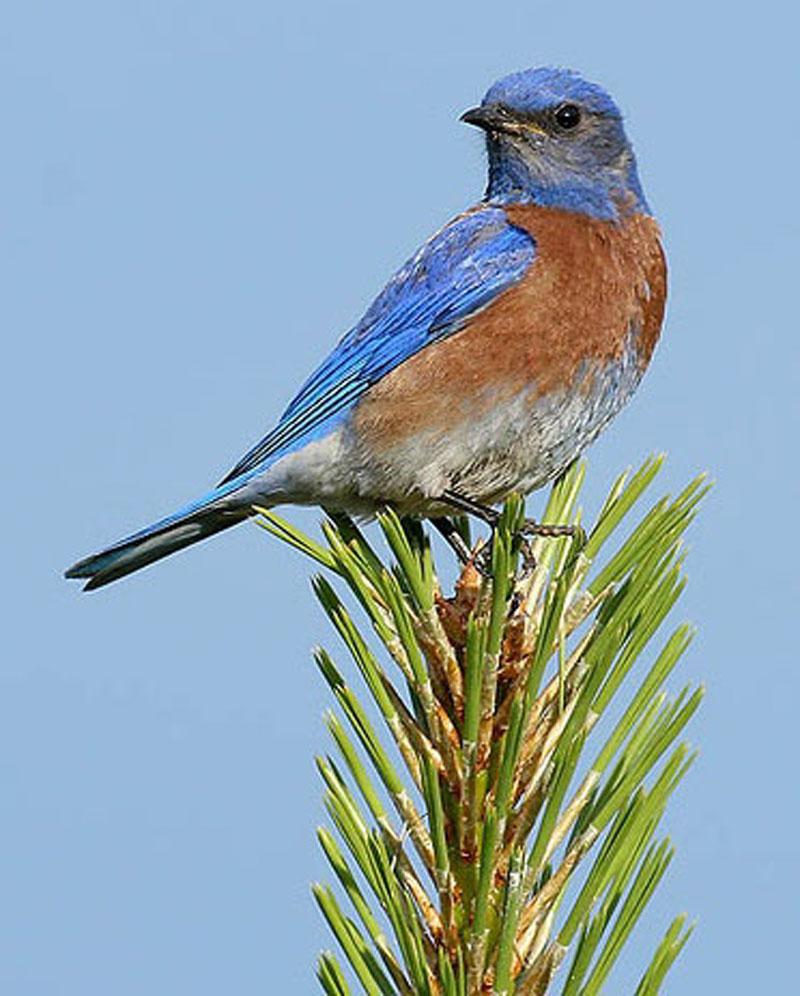 Birds: Birds: Western Bluebird