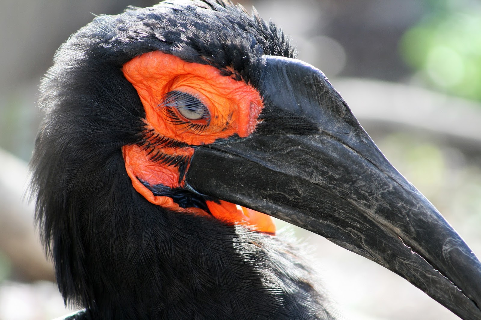 Southern ground hornbill-The bird that invented long eye lashes.