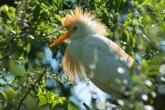 Cattle Egret, UT Southwestern Medical Center Rookery
