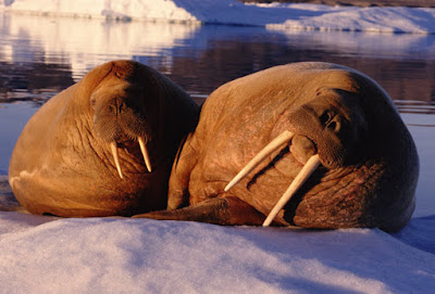 Vikings may have settled Greenland for Walrus tusks