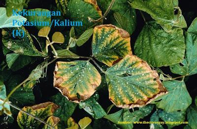 Kekurangan kelebihan Kalium (K) pada tanaman hidroponik