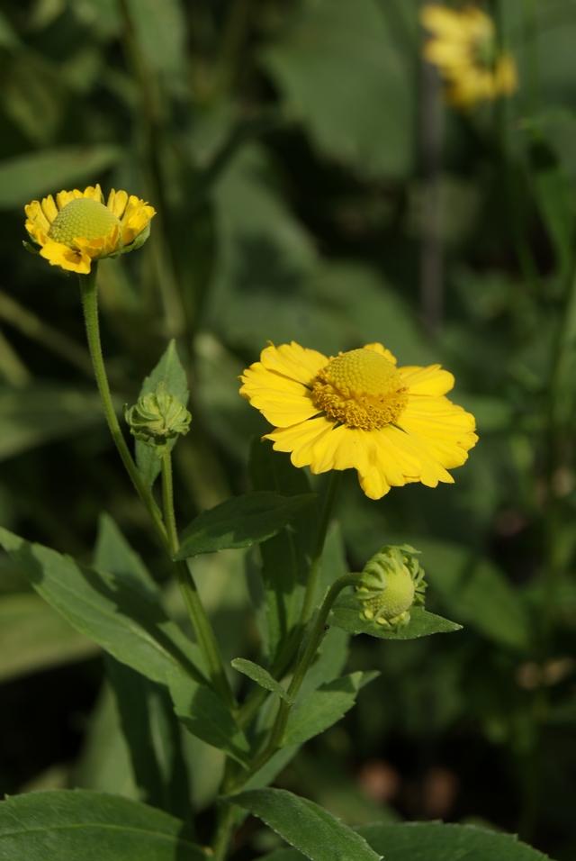 Sonnenbraut Helenium