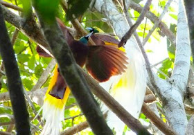Birds of Paradise watching tour in West Papua