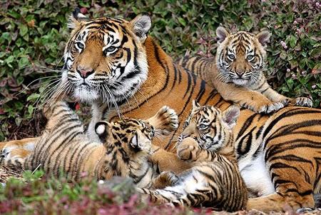 In difesa degli animali salviamo la tigre dall 39 estinzione for Disegni delle tigri