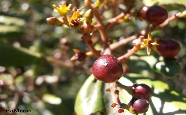 Fruto de Sanguinero Rhamnus glandulosa