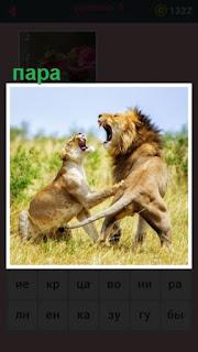 парочка львов отношения друг с другом на поляне