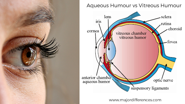 Aqueous Humour vs Vitreous Humour