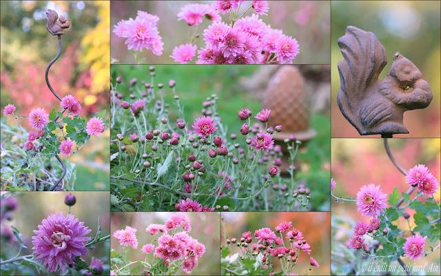 fleurs d'automne chrysanthème rose