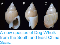 https://sciencythoughts.blogspot.com/2014/11/a-new-species-of-dog-whelk-from-south.html