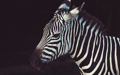 zebra face widescreen resolution hd wallpaper