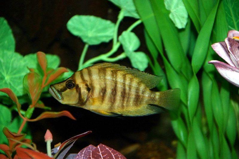 Gambar 9 Jenis Ikan Cichlid Afrika Dari Danau Tanganyika-Compressed Cichlid ( Altolamprologus compressiceps )