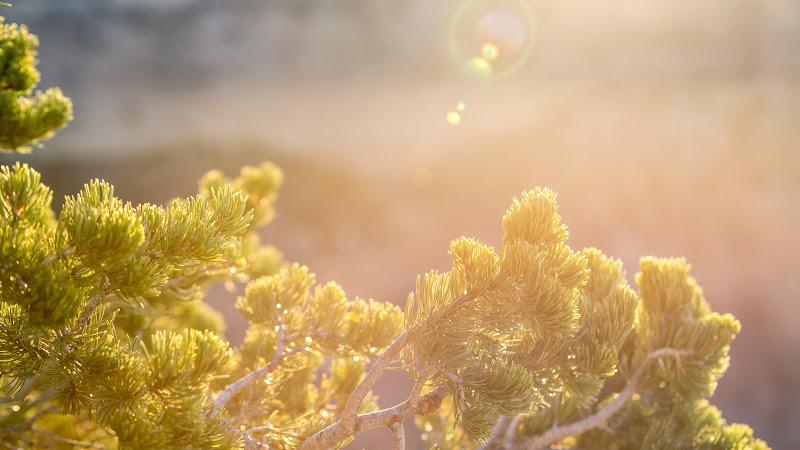 Pine Tree in the Sunlight